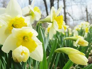 Photo: Yellow and white daffodils under the sun at Wegerzyn Gardens in Dayton, Ohio.