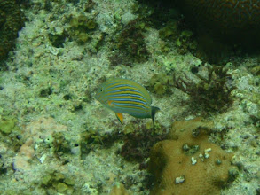 Photo: Acanthurus lineatus (Clown Tang), Siquijor Island, Philippines
