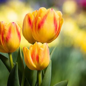 Merita Tulip 15 24x36.jpg