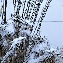 Winter in Arizona by Rose Felton - Nature Up Close Other plants ( precipitation, arizona, snow, plants, cactus, weather, winter, cold, succulents )