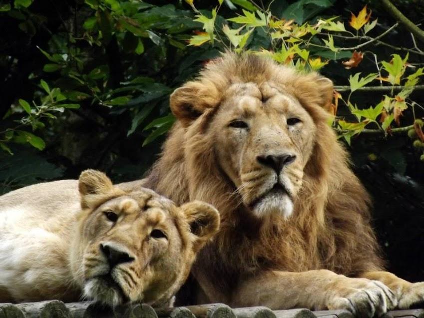 Lions d'Asie, la Boissière du Doré - Tous droits réservés