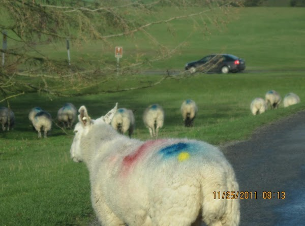 Sheep have the right of way!