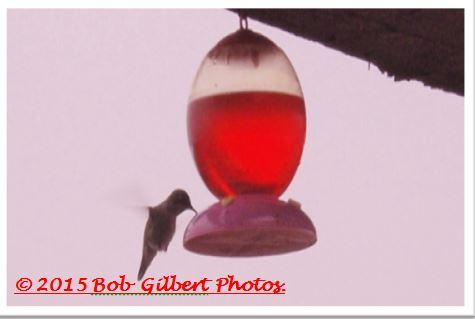 Hummingbird C.JPG