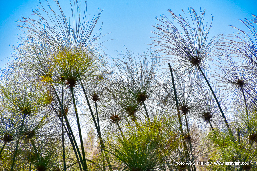 Папирус, Флора Израиля. Озеро Хула.