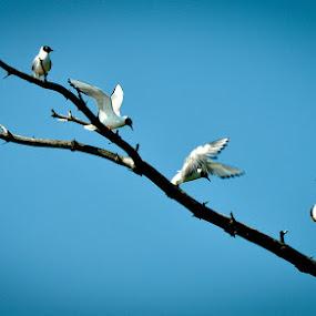Hop, Skip and a Jump! by Chris Couper - Animals Birds ( bird, arctic tern, canada, fly, fort frances ontario, jump )