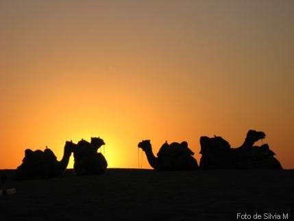4 camellos
