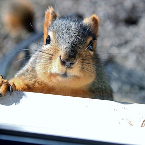 Hi, there! by Nancy Daugherty - Animals Other Mammals ( nature, wildlife, backyard, squirrel, mammal )