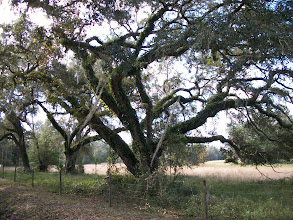 Photo: Live Oak - typical of this region.