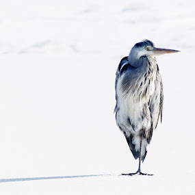 Heron on the Ice by Mats Andersson - Animals Birds ( shadow, snow, bird, winter, ice, cold, one leg, heron )