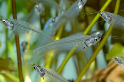 Photo: Glass catfish (Kryptopterus minor). http://www.tfhmagazine.com/freshwater/species-profiles/kryptopterus-minor.htm Photograph by Andrzej Zabawski.