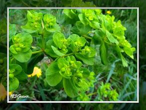 Photo: Euphorbe réveille-matin, Euphorbia helioscopia