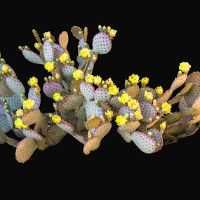 Cactus in Bloom by Al Judge - Nature Up Close Other plants ( plants, flowers, sedona, cactus, prickly pear )