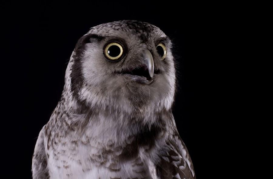 Northern Hawk Owl  by Max George - Animals Birds ( studio, northern hawk owl, bird of prey, hawk owl, owl, falconry, owls )