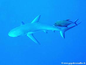 Photo: #013-Requin gris de récif à Columbus Isle