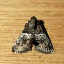 Zeller's Epipaschia Moth
