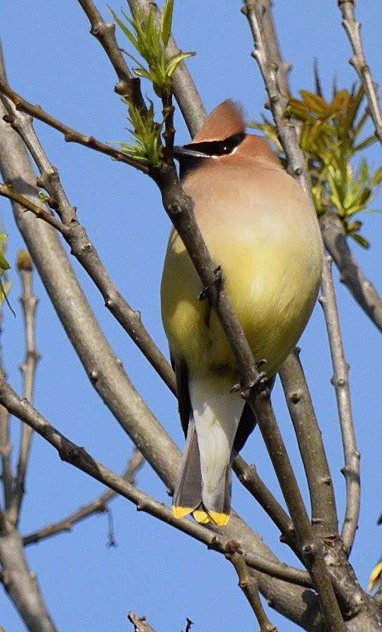 Cedar Waxwing by Ed Hanson - Animals Birds ( bird, red, mask, yellow, black )