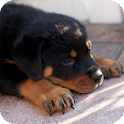 Rottweiler Pack 3 Wallpaper icon