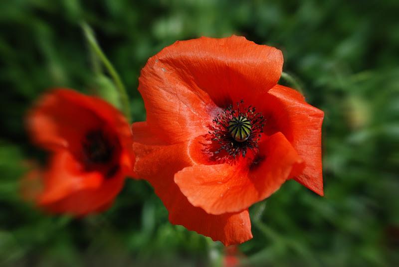 Poppies -papaveri di mauriziosettimi