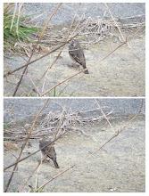 Photo: 撮影者:佐藤サヨ子 タヒバリ タイトル:花見と鳥見と 観察年月日:2015年4月2日 羽数:1羽 場所:淺川高幡橋上流 区分:行動 メッシュ:武蔵府中2J コメント:この鳥も薄寒い日だったので姿を見せてくれたのかなと思いましたが、今期の出会いは今日が最後かなと思いながら観察しました。