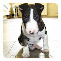 Bull Terrier Live Wallpaper icon