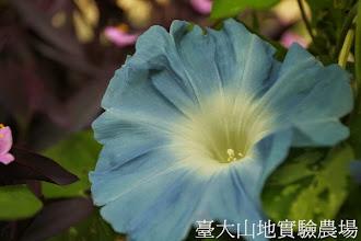 Photo: 拍攝地點: 春陽-可愛植物區 拍攝植物: 日本朝顏 水月 拍攝日期:2013_07_30_FY