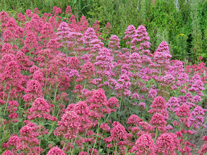 Photo: 9 Jul 13 Priorslee Lake: The Red Valerian (Centranthus ruber) on the dam is just past its prime. (Ed Wilson)