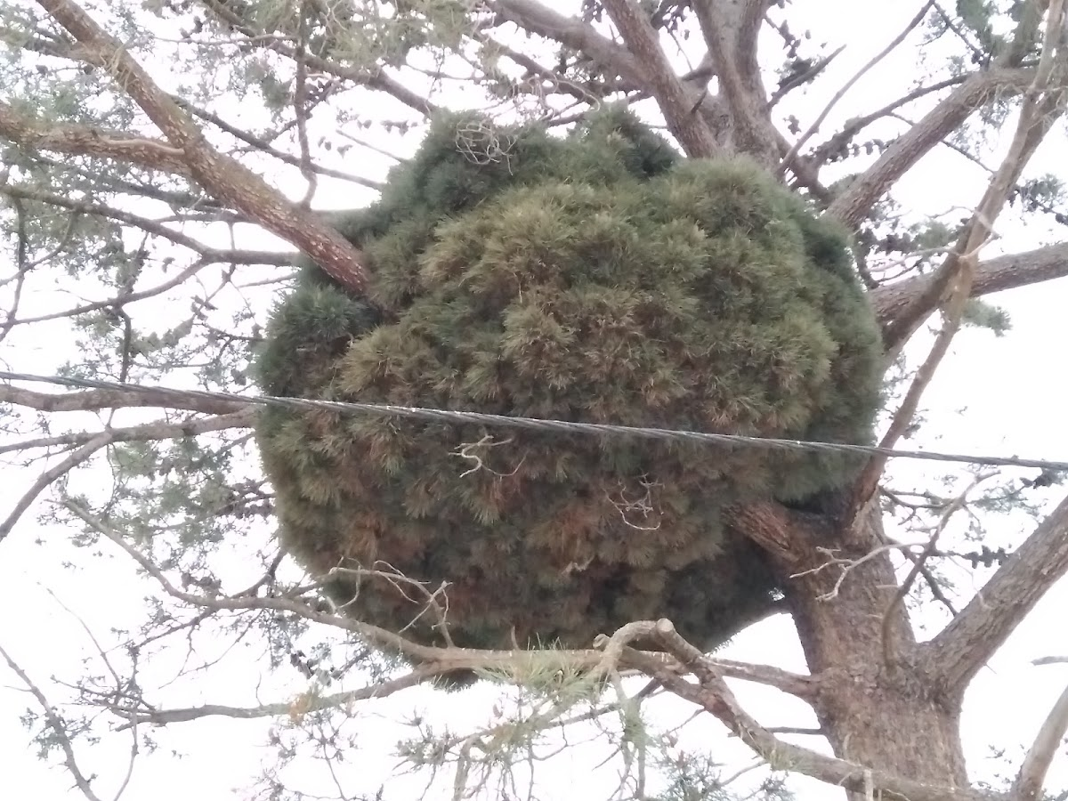 Pine Tree Witch's Broom