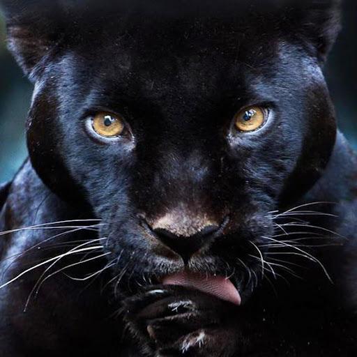 黒豹ライブ壁紙