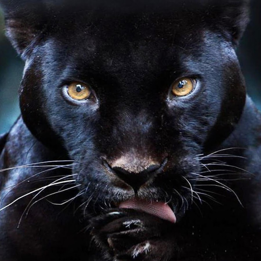 Black panther live wallpaper android apps on google play - Black screensaver ...