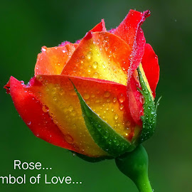 Rose...  by Asif Bora - Typography Quotes & Sentences