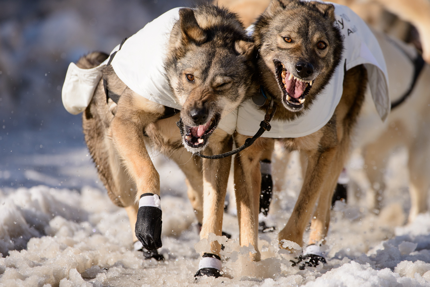 Iditarod Dogs, Anchorage, Alaska For Reuters
