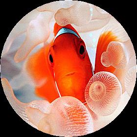 Clownfish Live Wallpaper