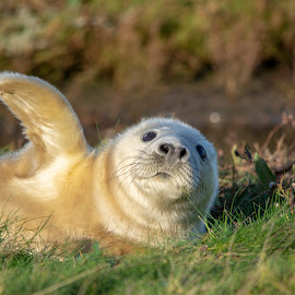 They went that way! by Fiona Etkin - Animals Other Mammals ( flipper, white, nature, mammal, seal, animal, fluffy, cute, grey seal pup, wildlife )