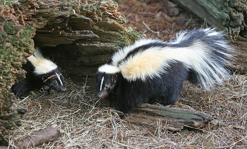 File:Striped Skunk.jpg