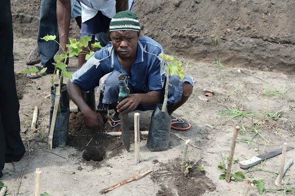 Planting Jatropha seedlings for fencing and fuel production