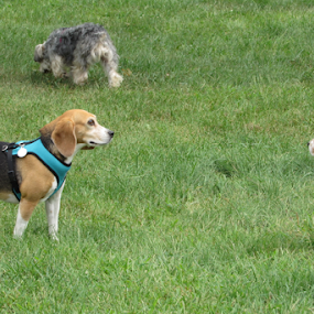 Three Beagles at the Dog Park by Karen Dayton - Animals - Dogs Playing ( rocky hill, dog park, rescue dogs, three of a kind, connecticut, canines, beagles )