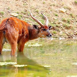 Sitatunga male by Gérard CHATENET - Animals Other Mammals