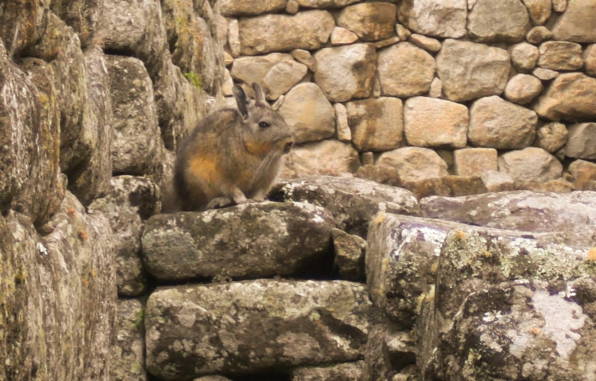 Northern Viscacha