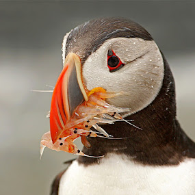 Atlantic Puffin by Herb Houghton - Animals Birds ( alcid, atlantic puffin, krill, puffin,  )