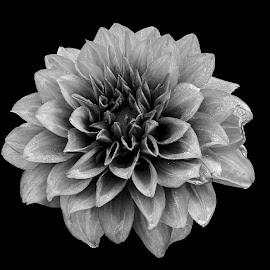 by Mohsin Raza - Black & White Flowers & Plants