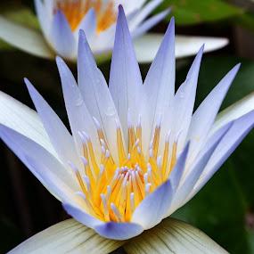 WaterLily by Souvik Nandi - Nature Up Close Flowers - 2011-2013