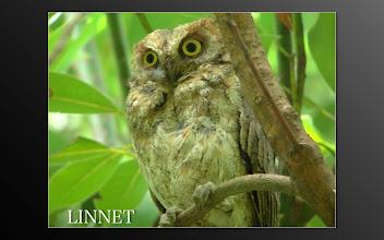 Photo: リュウキュウコノハズク  ( Ryukyu Scops Owl )