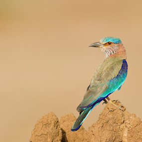Indian Roller by Angad Achappa - Animals Birds ( nature, avian, colors, wildlife, indian birds, birds of india, bird photography, indian roller )