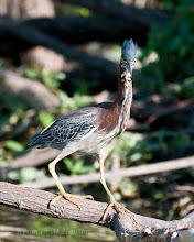Photo: Green heron