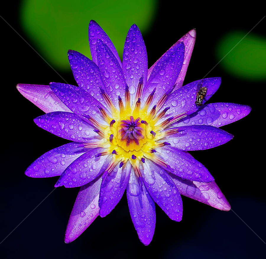 by Charliemagne Unggay - Nature Up Close Flowers - 2011-2013 ( purple, yellow, color )