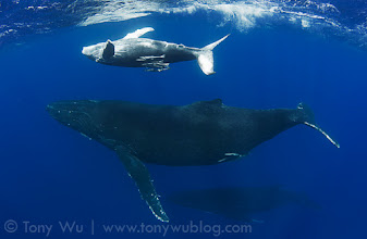 Photo: Second encounter with Tahatolu (calf #13) with mom and escort swimming below. Tahatolu is a playful little boy.