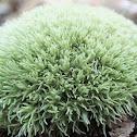 White cushion moss