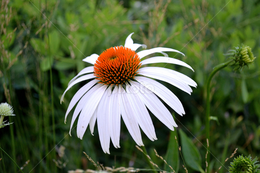 Echinacea by Andrea Stocker - Nature Up Close Flowers - 2011-2013 ( echinacea, macro, white, flowers, flower )