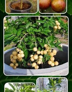 Ovocné stromy v květináčích - náhled