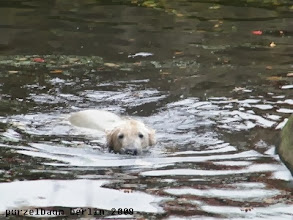 Photo: Knut bei seiner morgendlichen Schwimmrunde ;-)